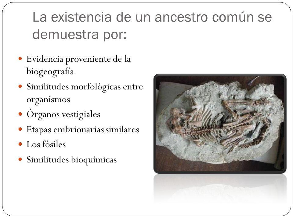La existencia de un ancestro común se demuestra por: