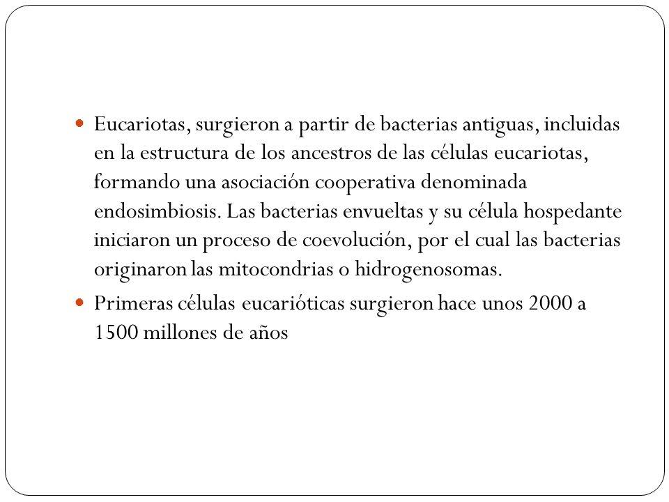 Eucariotas, surgieron a partir de bacterias antiguas, incluidas en la estructura de los ancestros de las células eucariotas, formando una asociación cooperativa denominada endosimbiosis. Las bacterias envueltas y su célula hospedante iniciaron un proceso de coevolución, por el cual las bacterias originaron las mitocondrias o hidrogenosomas.