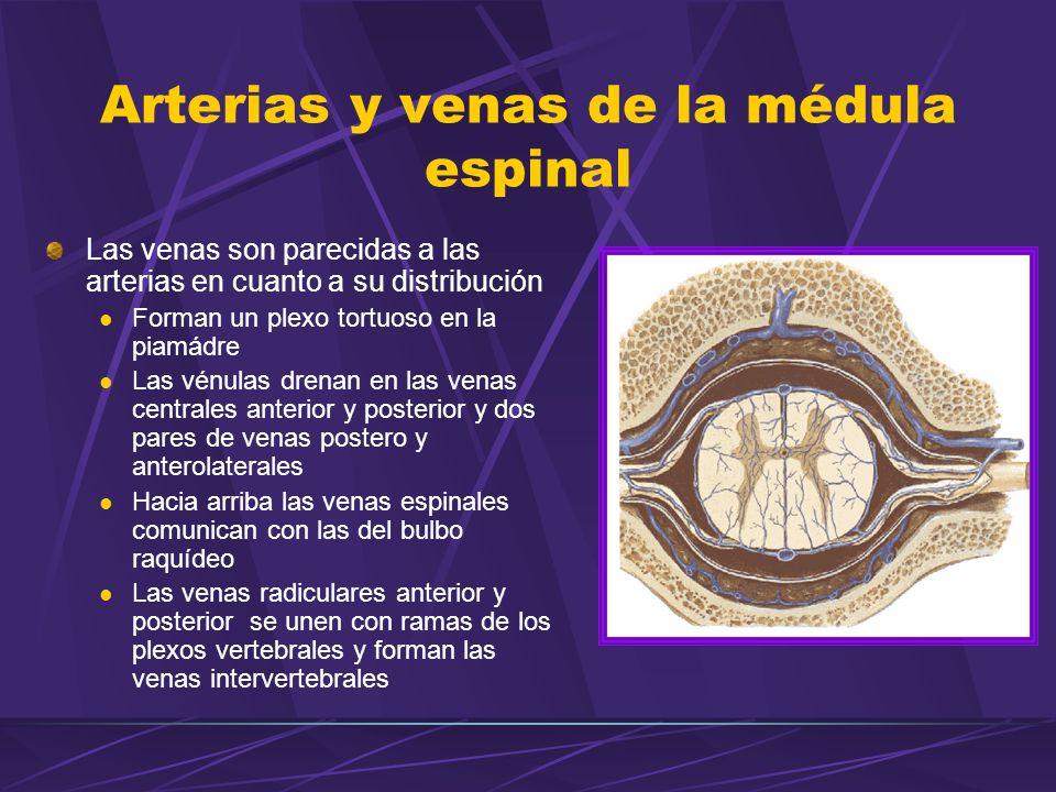 Arterias y venas de la médula espinal