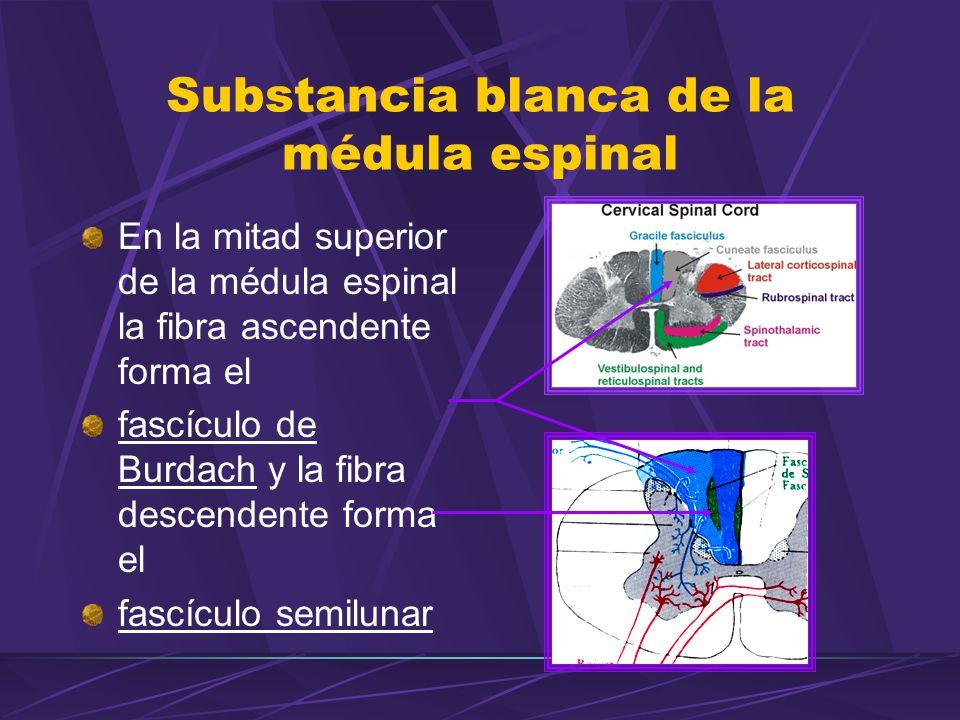 Substancia blanca de la médula espinal