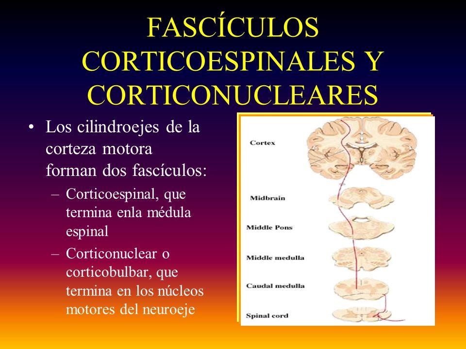 FASCÍCULOS CORTICOESPINALES Y CORTICONUCLEARES