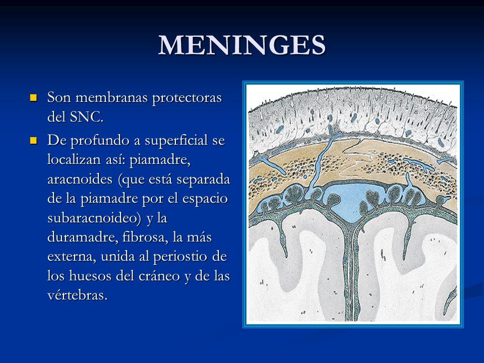 MENINGES Son membranas protectoras del SNC.