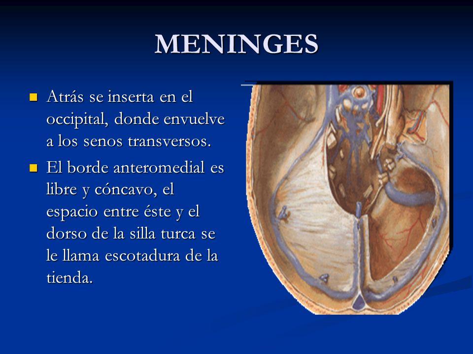 MENINGES Atrás se inserta en el occipital, donde envuelve a los senos transversos.