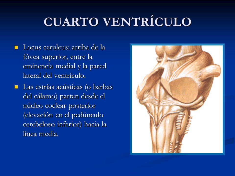 CUARTO VENTRÍCULO Locus ceruleus: arriba de la fóvea superior, entre la eminencia medial y la pared lateral del ventrículo.