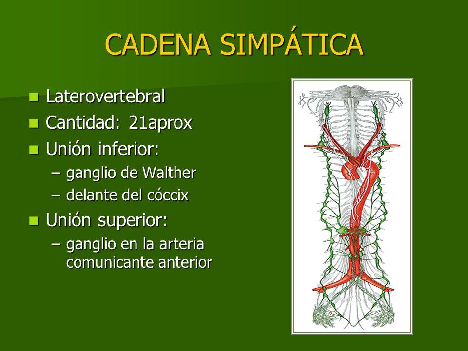 CADENA SIMPÁTICA Laterovertebral Cantidad: 21aprox Unión inferior: