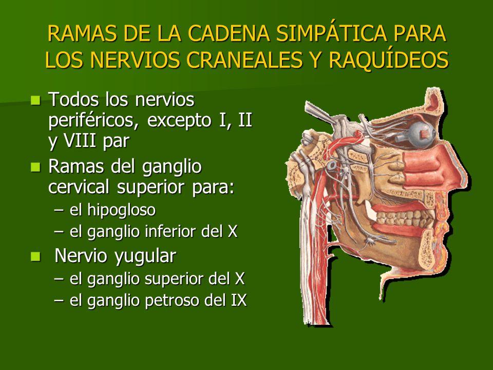 RAMAS DE LA CADENA SIMPÁTICA PARA LOS NERVIOS CRANEALES Y RAQUÍDEOS