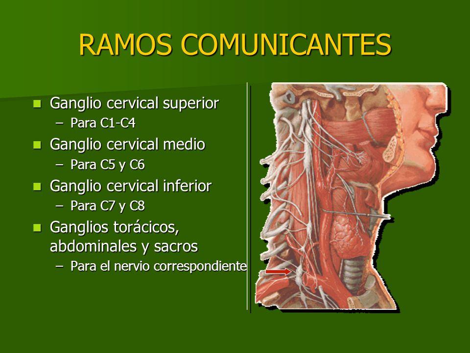 RAMOS COMUNICANTES Ganglio cervical superior Ganglio cervical medio