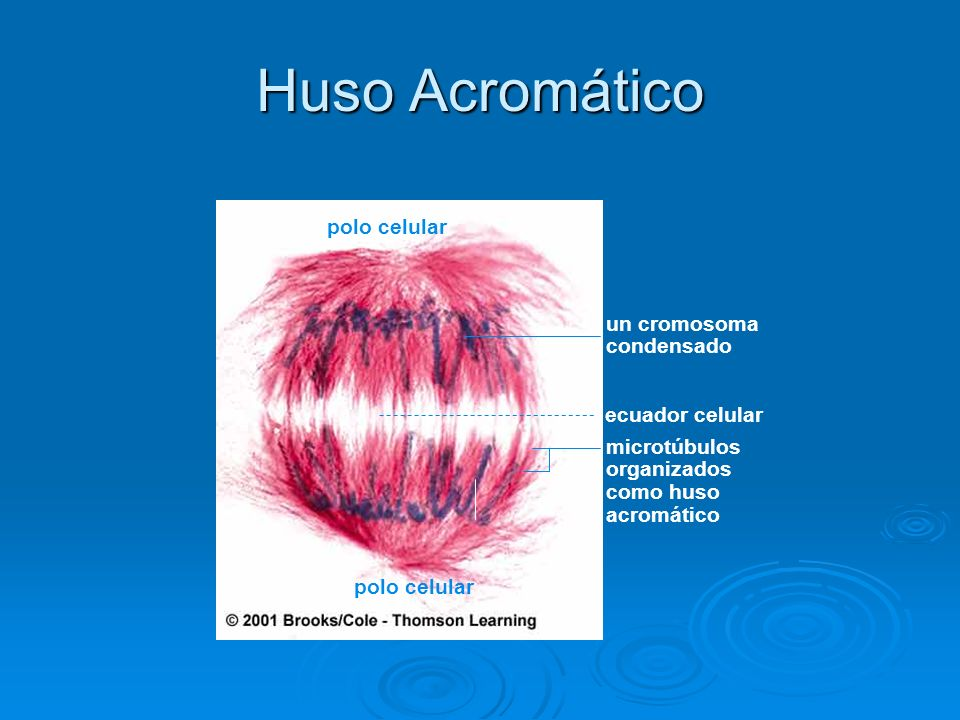 Huso Acromático polo celular un cromosoma condensado ecuador celular