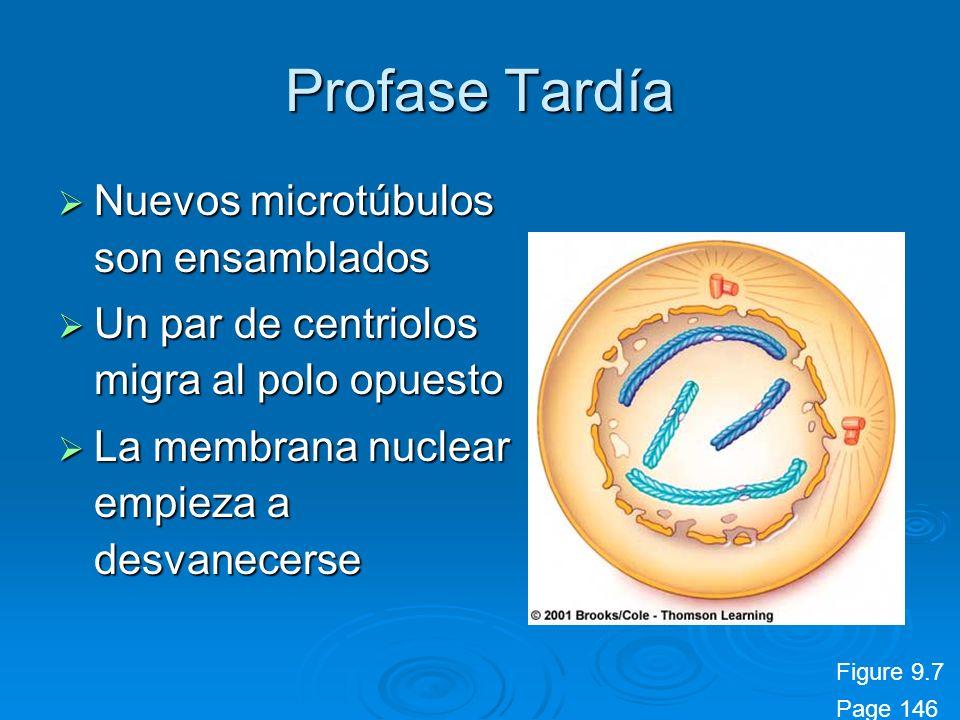 Profase Tardía Nuevos microtúbulos son ensamblados