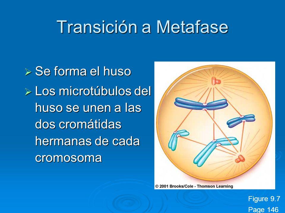 Transición a Metafase Se forma el huso