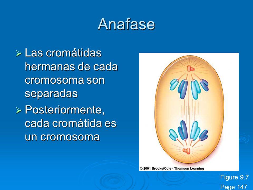 Anafase Las cromátidas hermanas de cada cromosoma son separadas