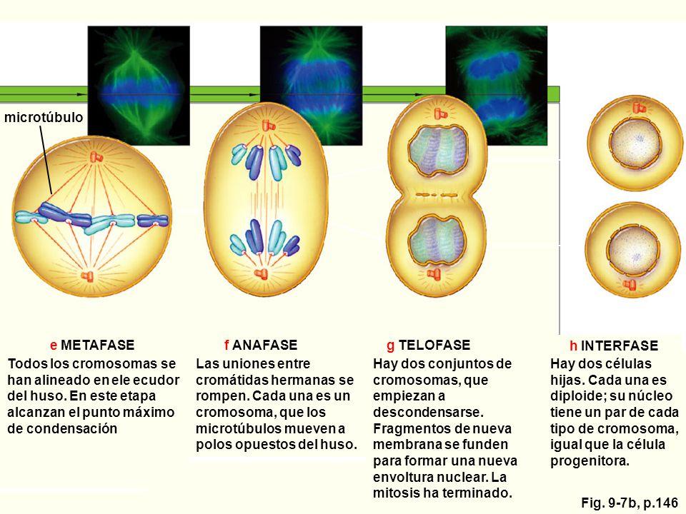microtúbulo e METAFASE. f ANAFASE. g TELOFASE. h INTERFASE.