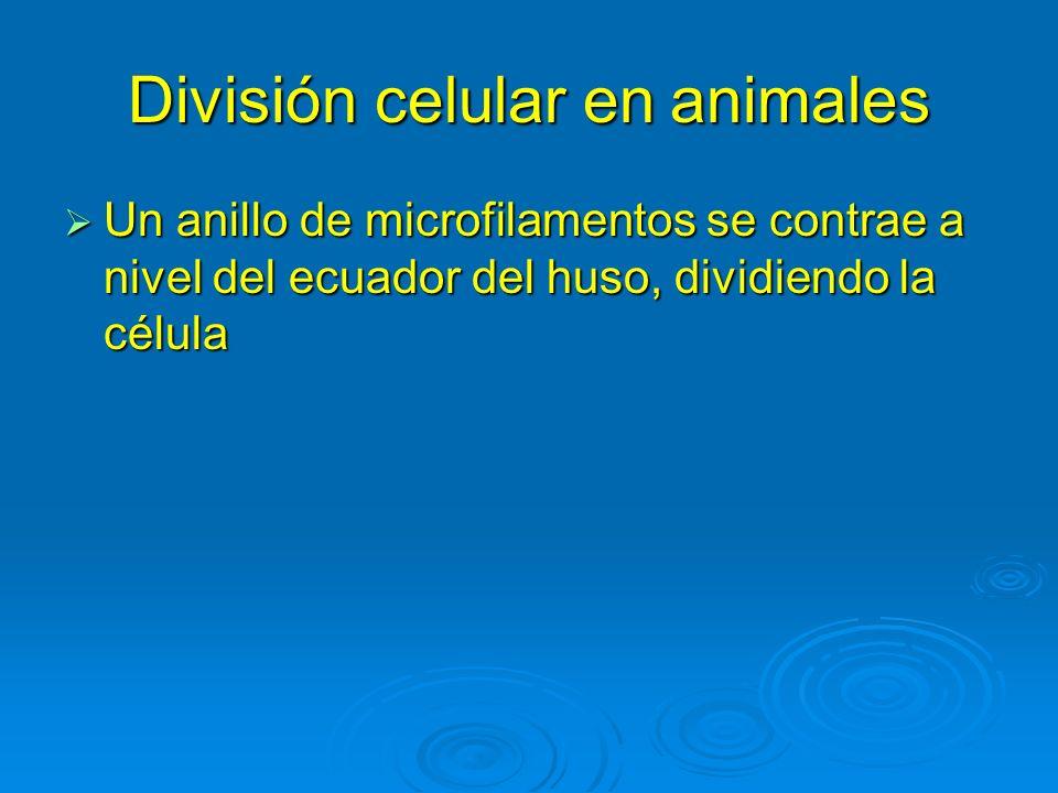 División celular en animales