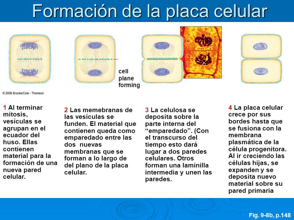 Formación de la placa celular