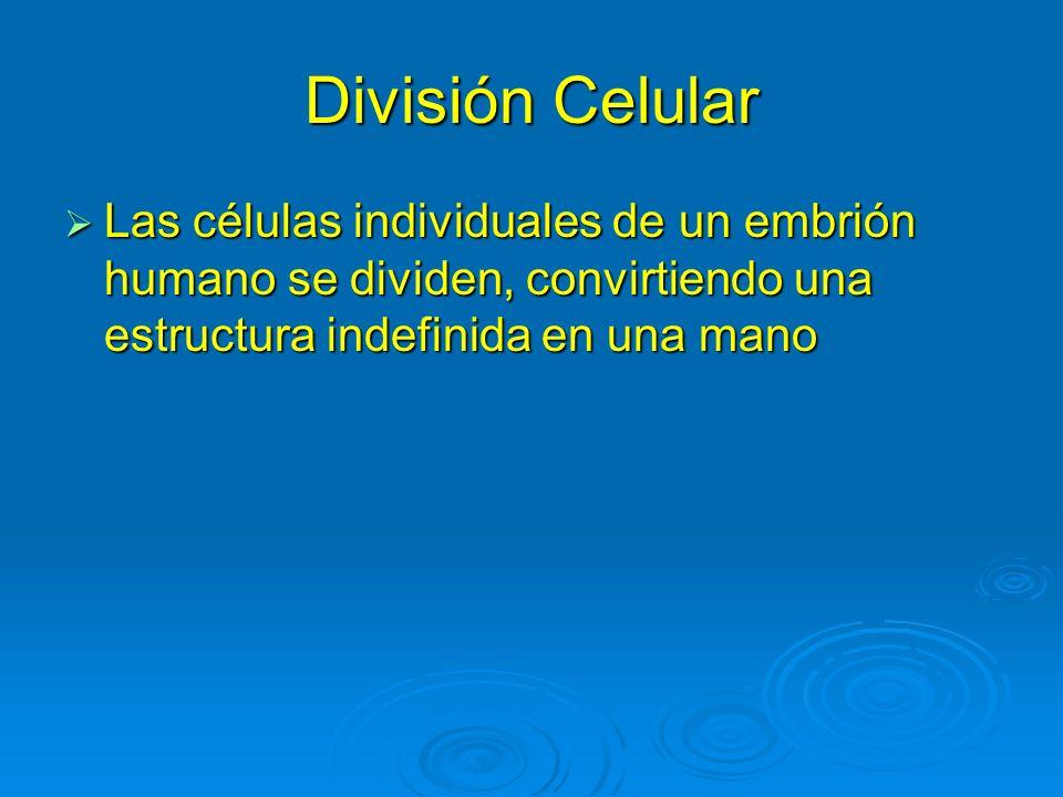 División CelularLas células individuales de un embrión humano se dividen, convirtiendo una estructura indefinida en una mano.