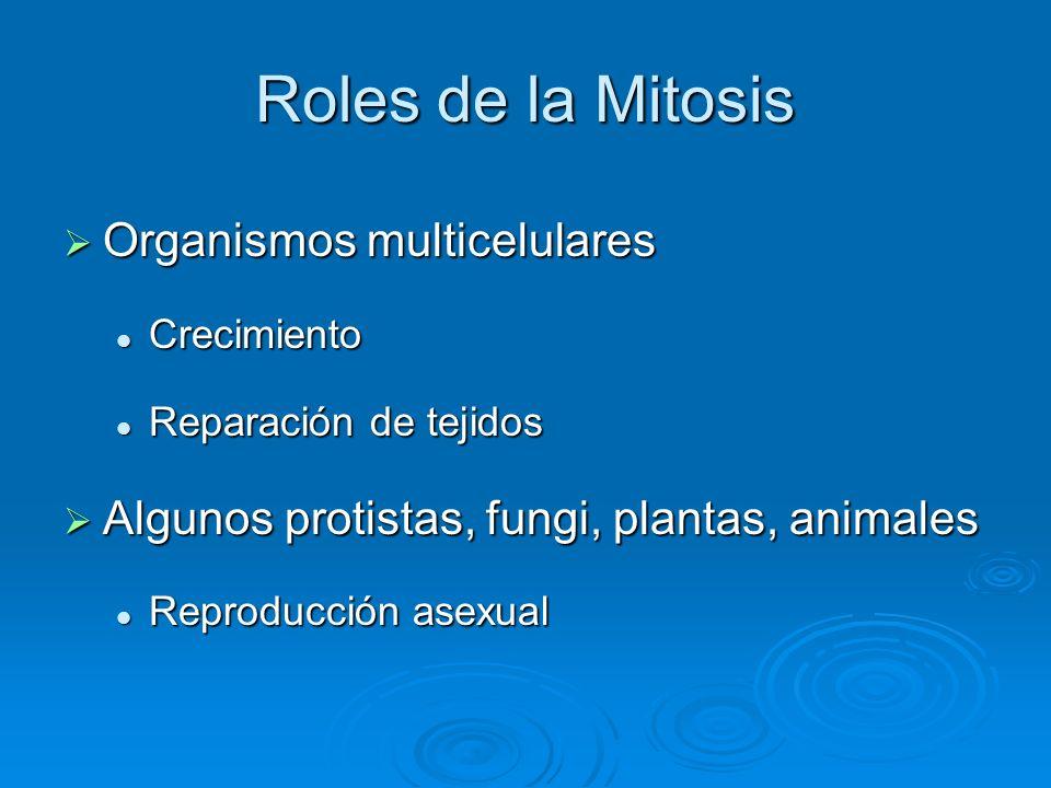 Roles de la Mitosis Organismos multicelulares