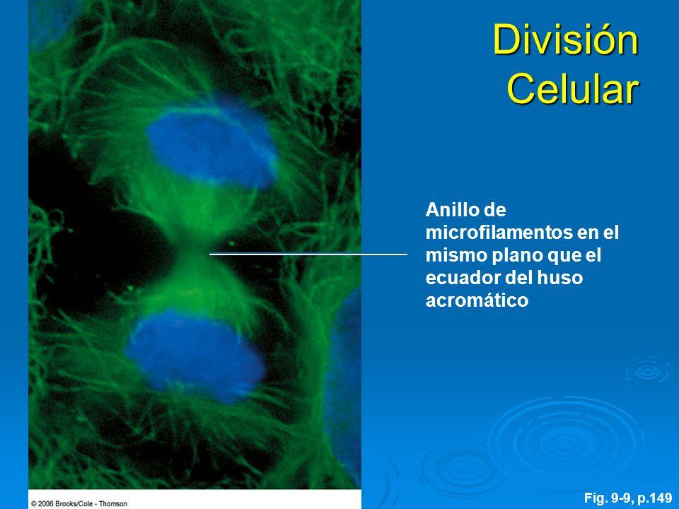 División CelularAnillo de microfilamentos en el mismo plano que el ecuador del huso acromático.