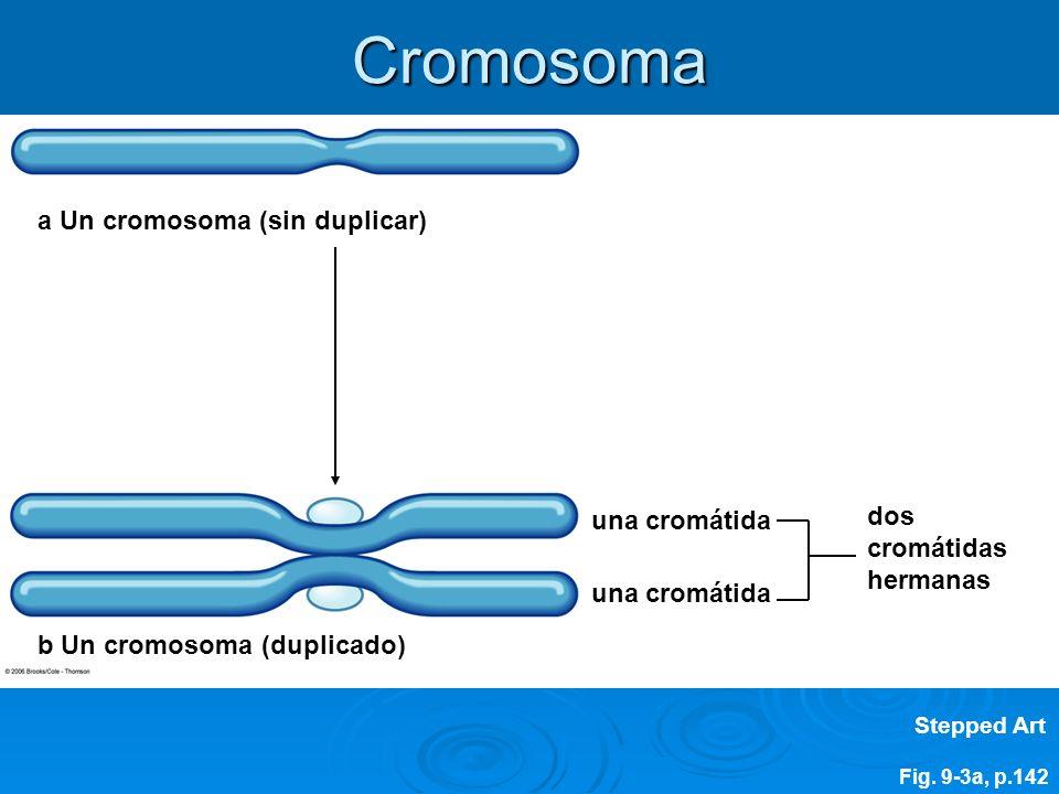 Cromosoma a Un cromosoma (sin duplicar) dos cromátidas una cromátida