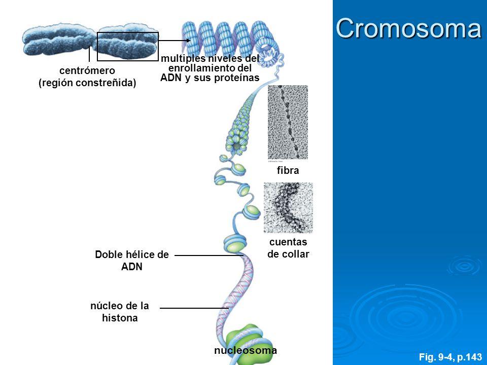 multiples niveles del enrollamiento del ADN y sus proteínas