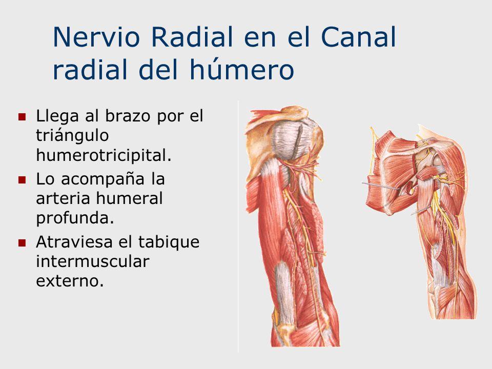 Nervio Radial en el Canal radial del húmero