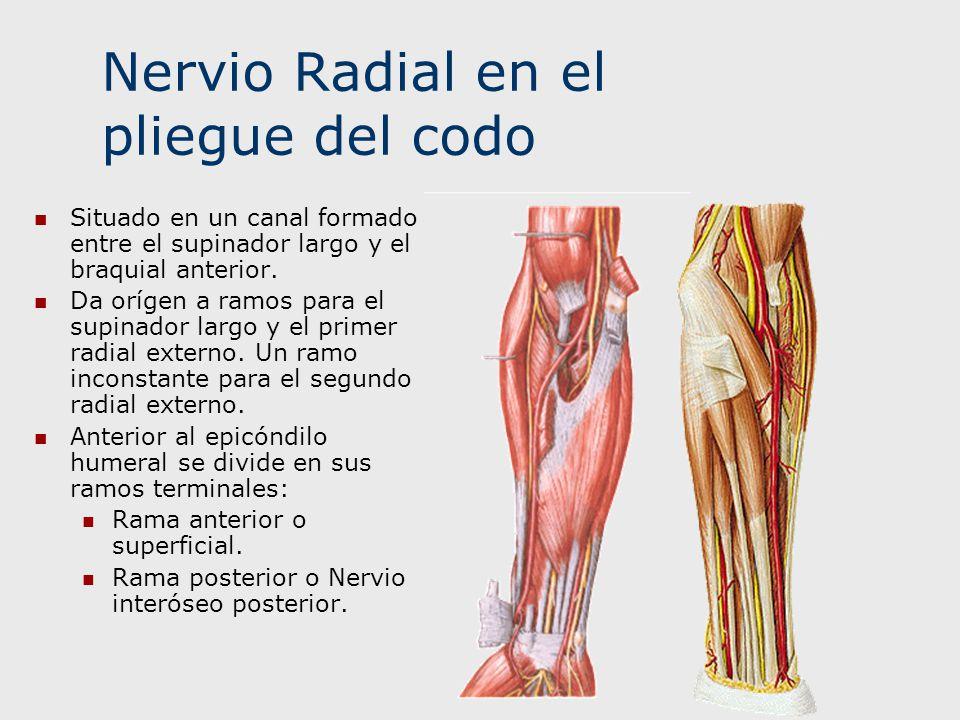 Nervio Radial en el pliegue del codo
