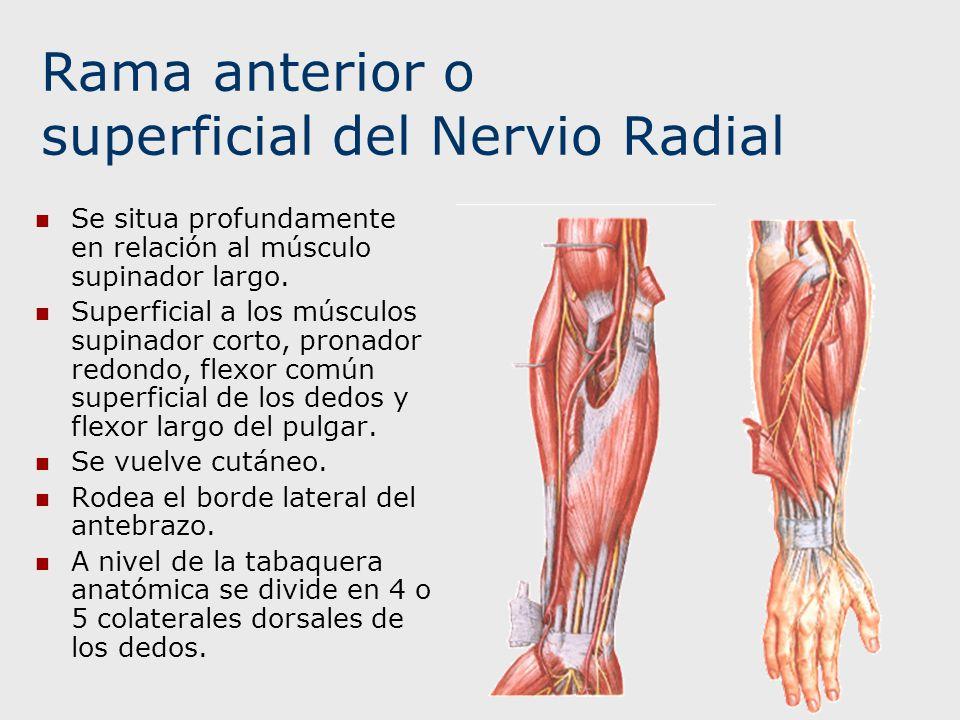 Rama anterior o superficial del Nervio Radial