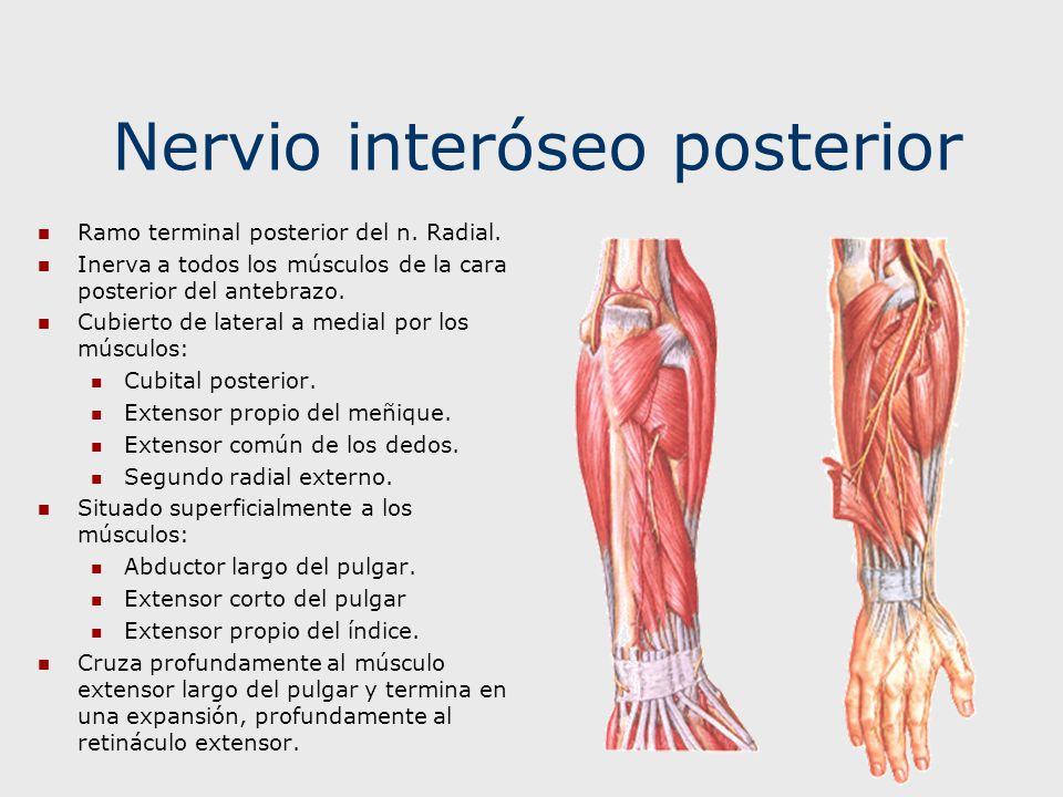 Contemporáneo Nervios De La Anatomía Del Pulgar Imagen - Imágenes de ...