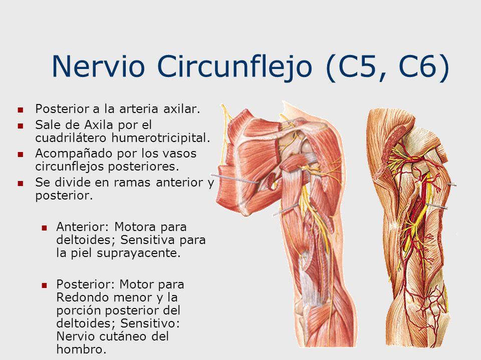 Increíble Anatomía Del Nervio Axilar Embellecimiento - Imágenes de ...