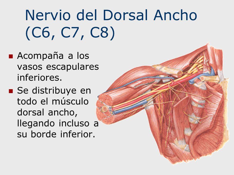 Nervio del Dorsal Ancho (C6, C7, C8)