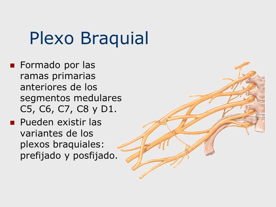 Plexo Braquial Formado por las ramas primarias anteriores de los segmentos medulares C5, C6, C7, C8 y D1.