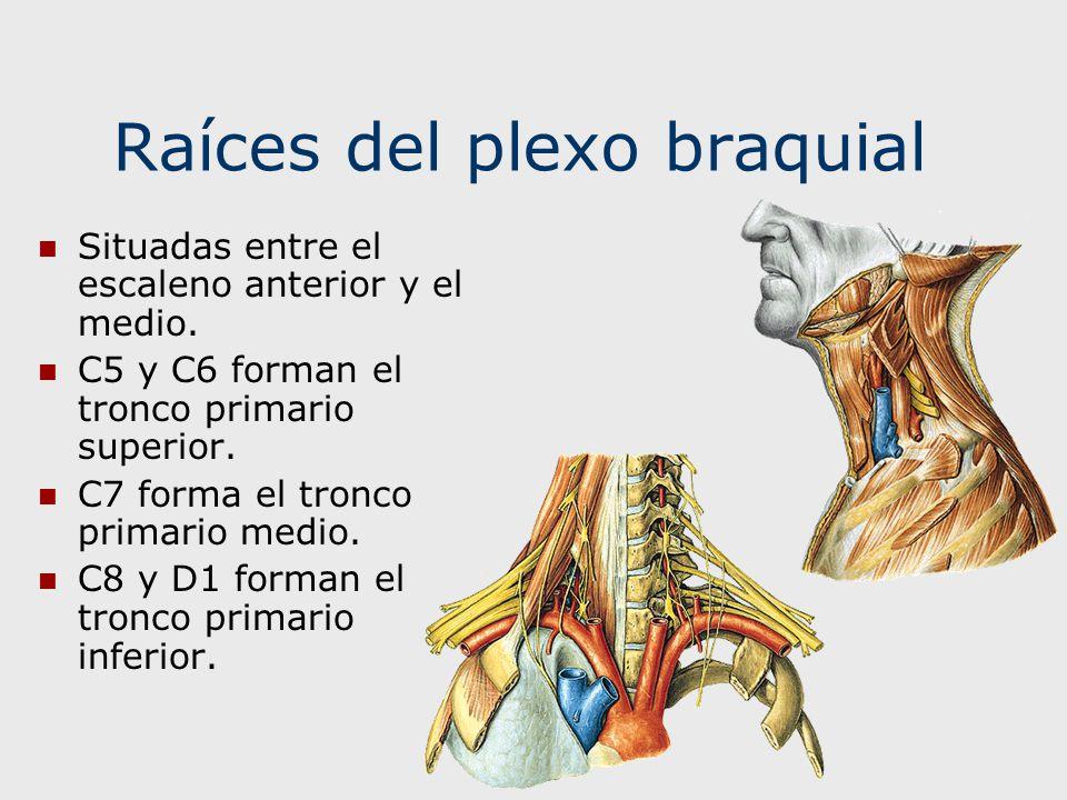 Raíces del plexo braquial