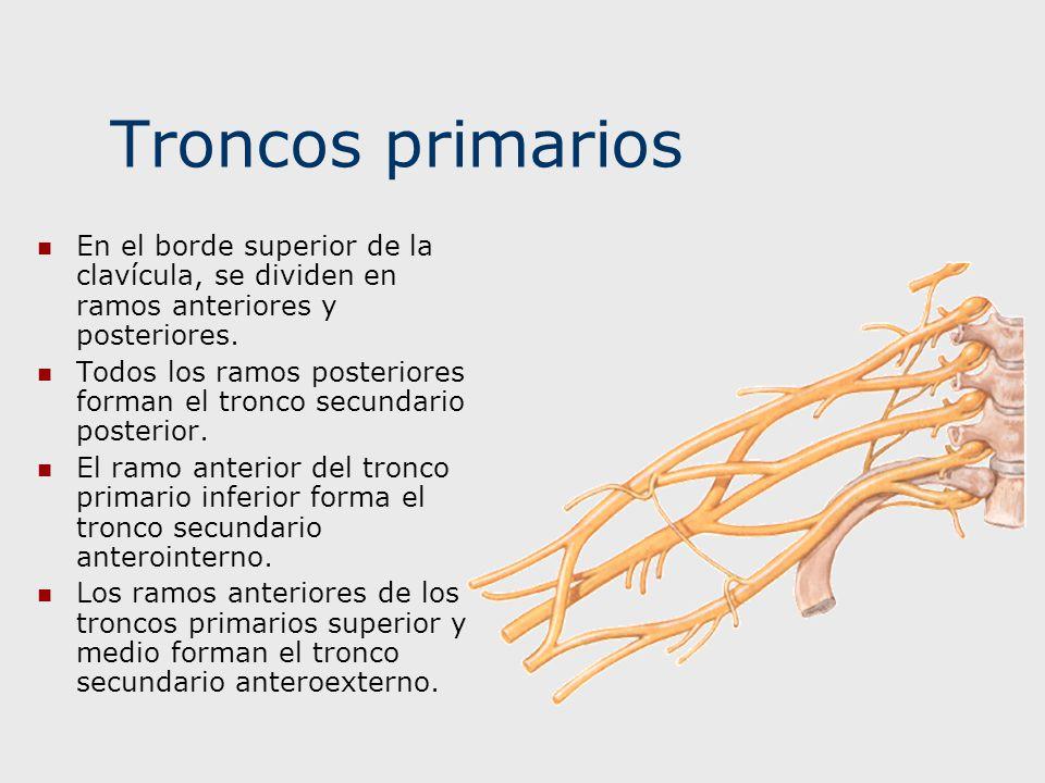 Troncos primarios En el borde superior de la clavícula, se dividen en ramos anteriores y posteriores.