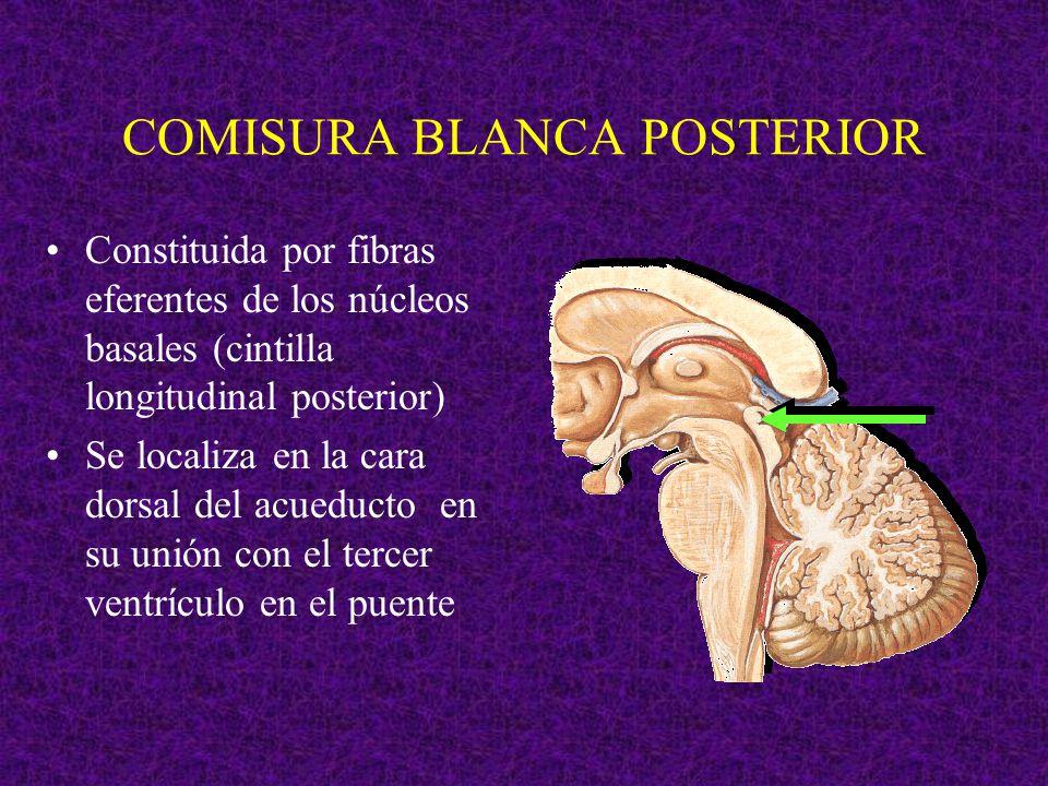 COMISURA BLANCA POSTERIOR