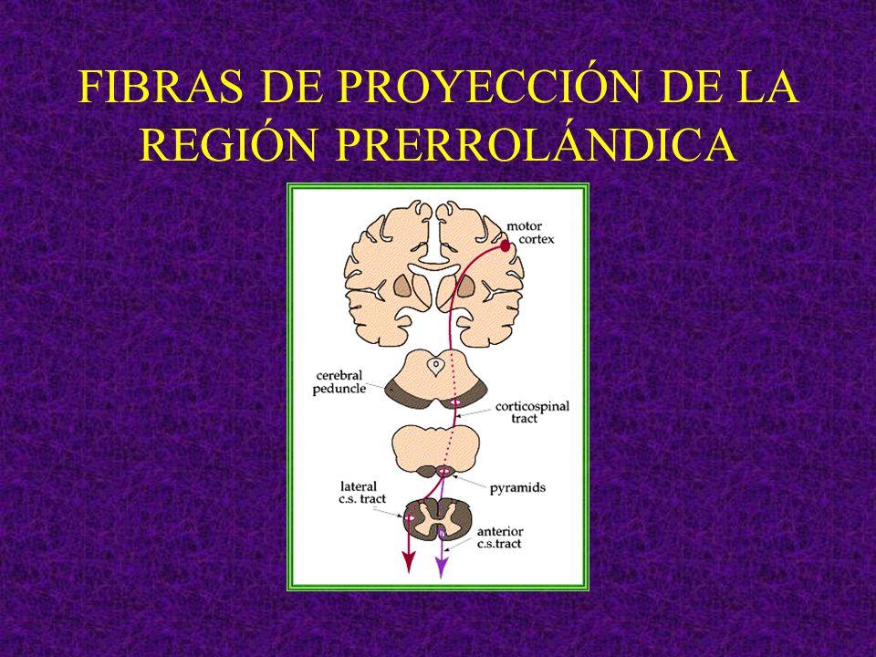 FIBRAS DE PROYECCIÓN DE LA REGIÓN PRERROLÁNDICA