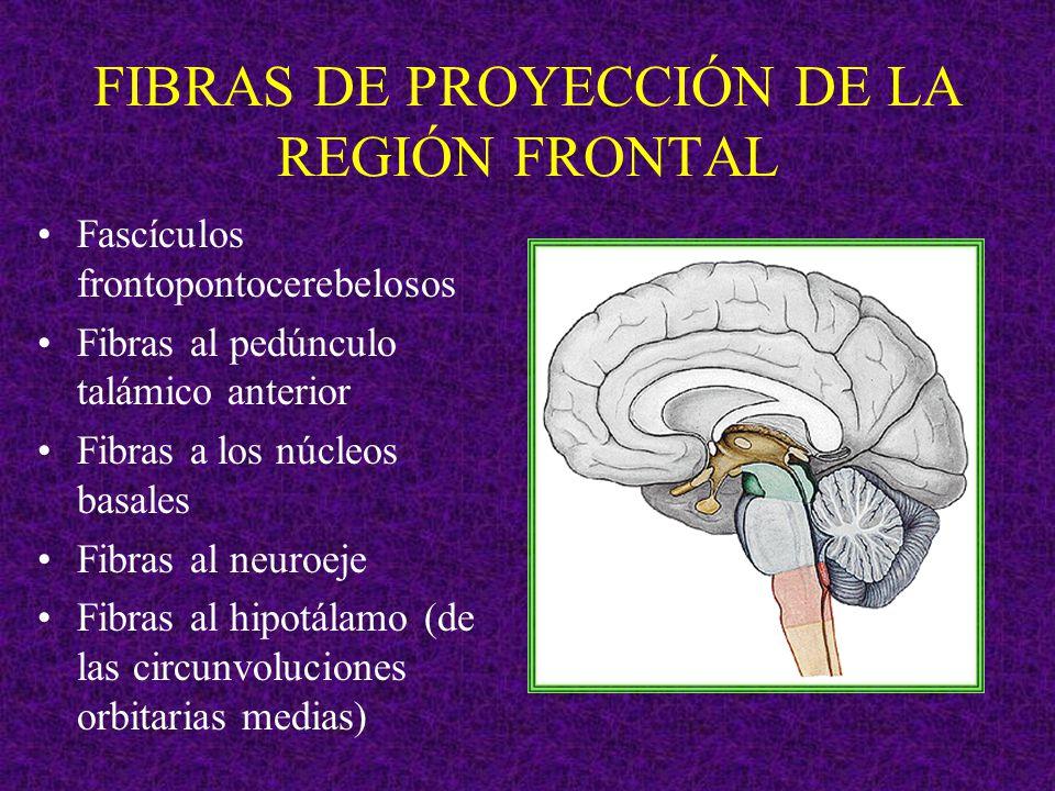 FIBRAS DE PROYECCIÓN DE LA REGIÓN FRONTAL
