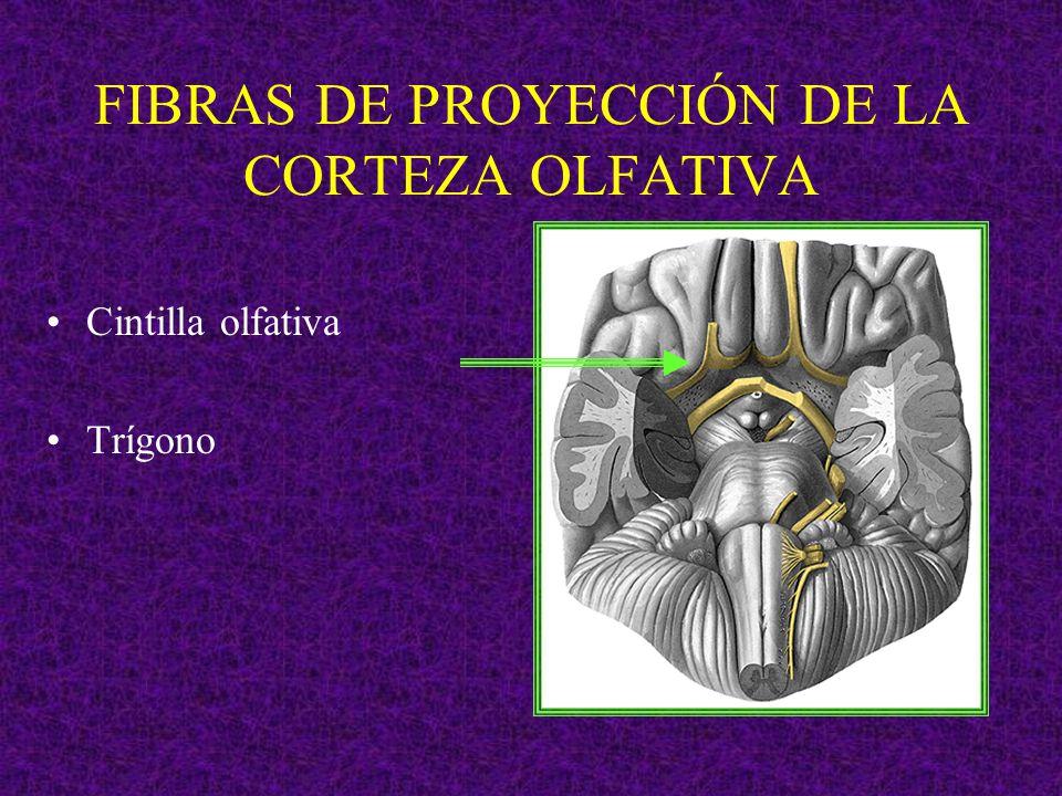 FIBRAS DE PROYECCIÓN DE LA CORTEZA OLFATIVA