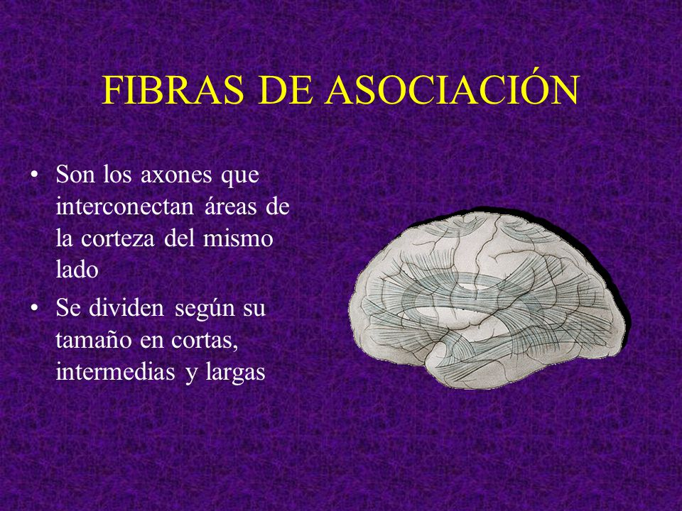 FIBRAS DE ASOCIACIÓN Son los axones que interconectan áreas de la corteza del mismo lado.