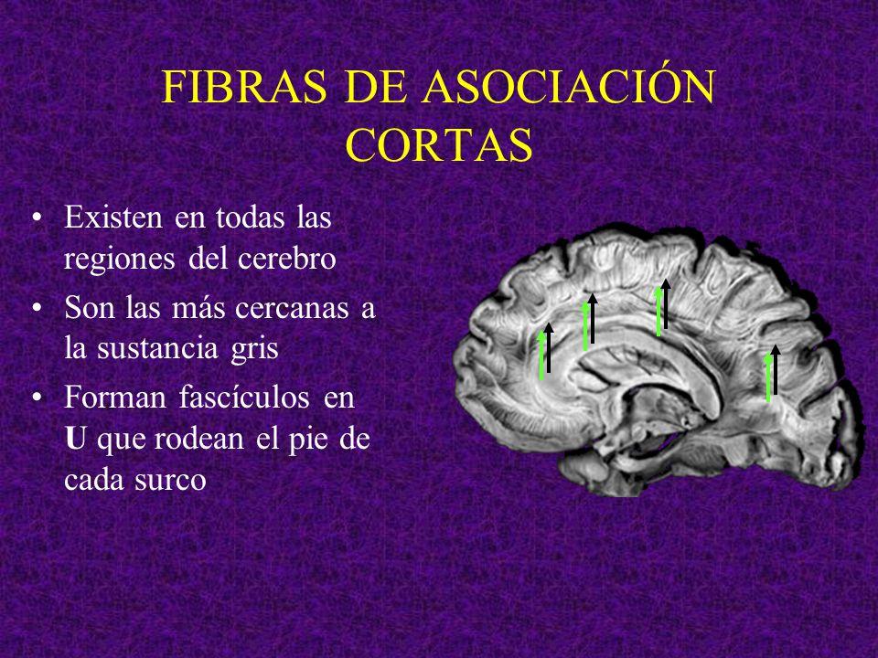 FIBRAS DE ASOCIACIÓN CORTAS