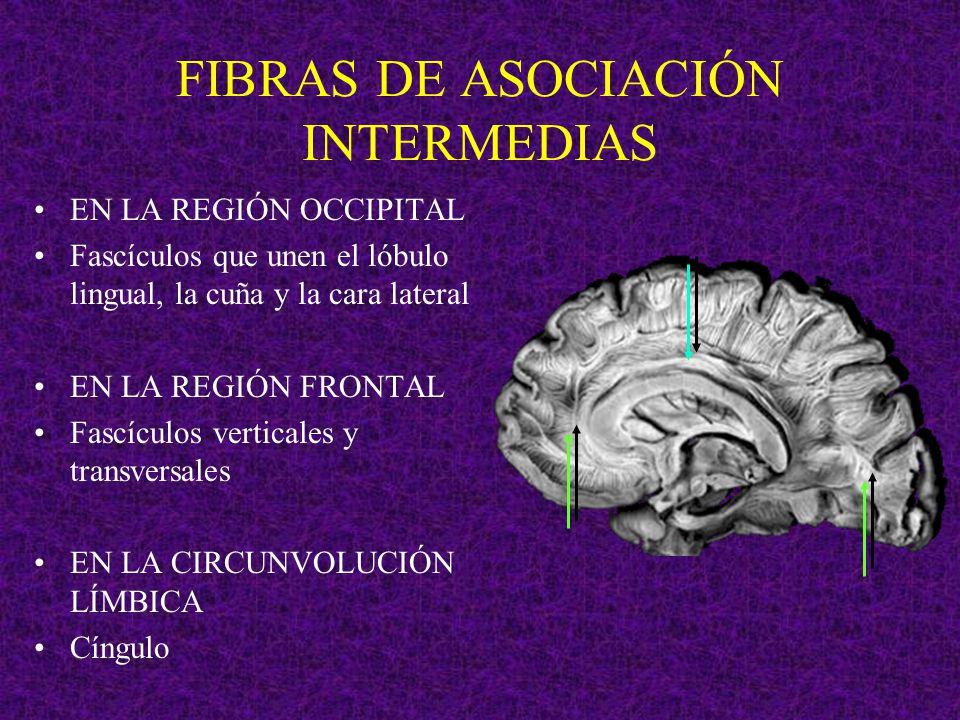 FIBRAS DE ASOCIACIÓN INTERMEDIAS
