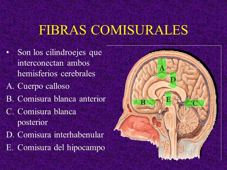 FIBRAS COMISURALES Son los cilindroejes que interconectan ambos hemisferios cerebrales. Cuerpo calloso.