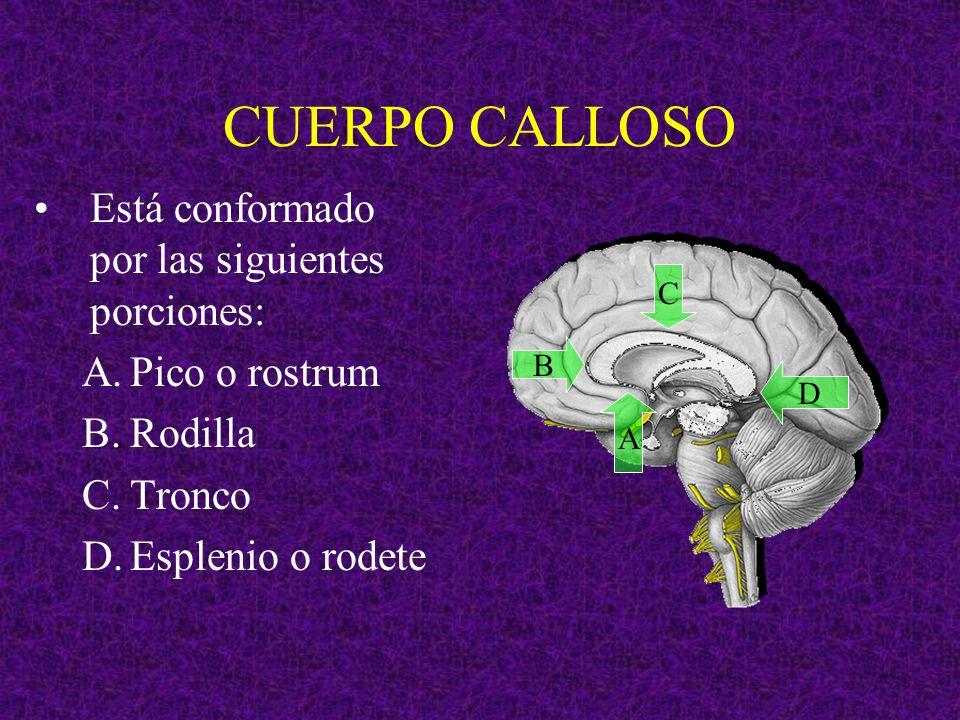 CUERPO CALLOSO Está conformado por las siguientes porciones: