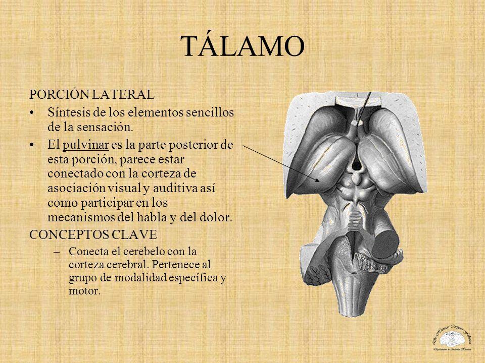 TÁLAMO PORCIÓN LATERAL