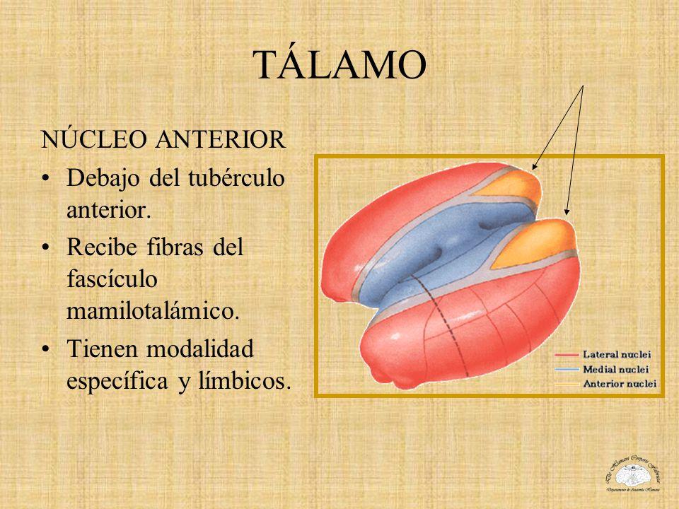 TÁLAMO NÚCLEO ANTERIOR Debajo del tubérculo anterior.