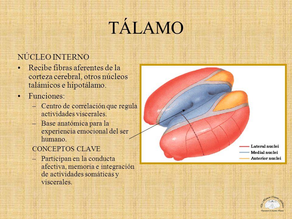 TÁLAMO NÚCLEO INTERNO. Recibe fibras aferentes de la corteza cerebral, otros núcleos talámicos e hipotálamo.