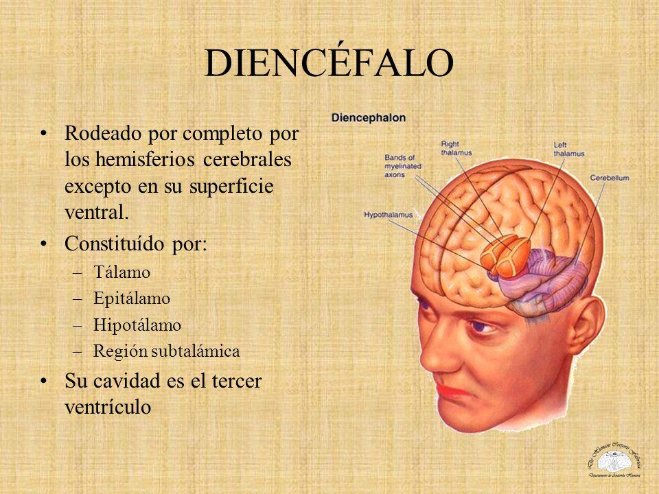 DIENCÉFALO Rodeado por completo por los hemisferios cerebrales excepto en su superficie ventral. Constituído por: