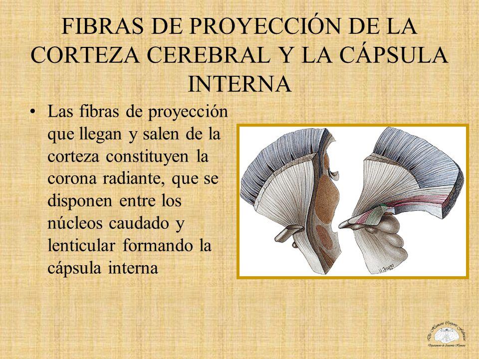 FIBRAS DE PROYECCIÓN DE LA CORTEZA CEREBRAL Y LA CÁPSULA INTERNA
