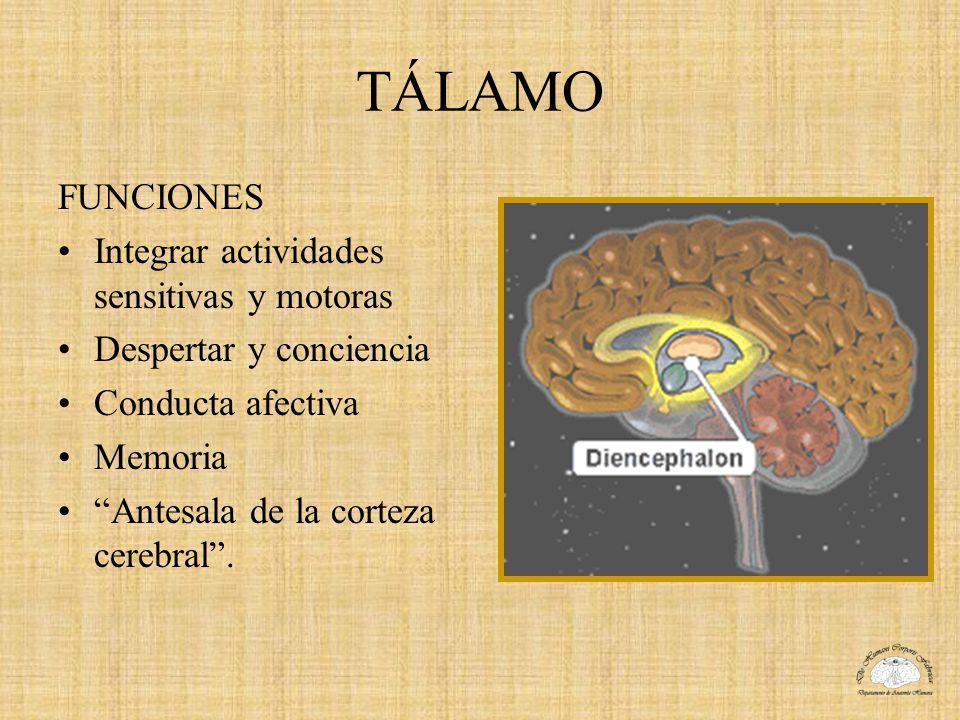 TÁLAMO FUNCIONES Integrar actividades sensitivas y motoras