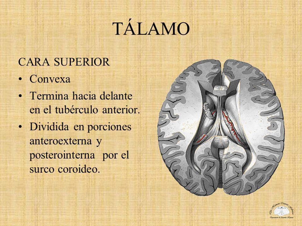 TÁLAMO CARA SUPERIOR Convexa