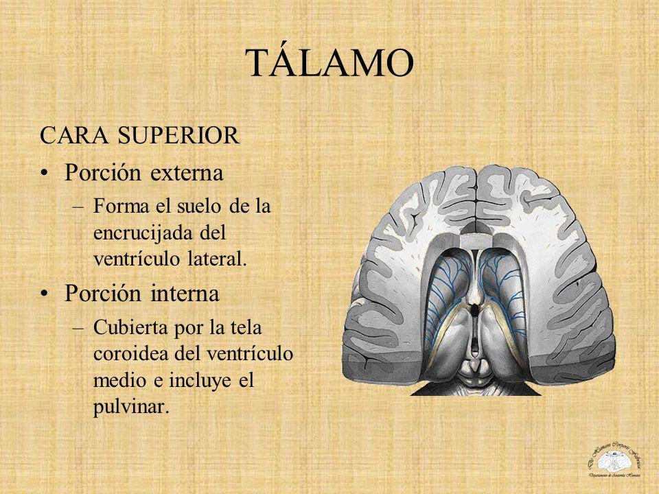 TÁLAMO CARA SUPERIOR Porción externa Porción interna