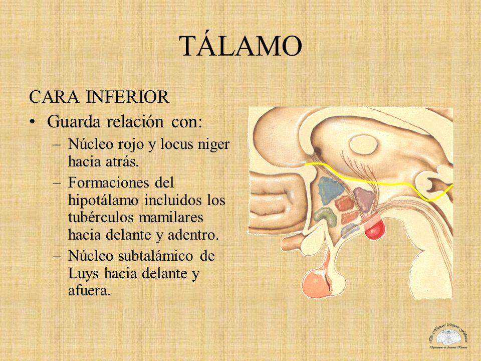 TÁLAMO CARA INFERIOR Guarda relación con: